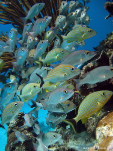 Fishes. San Pedro, B&#233;lize. Canon Ixus 980 &amp; WA20 Ikelite. by Bea &amp; Stef Primatesta 